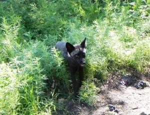 火山景區內的野生小黑狐